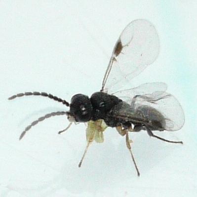 wasp - Aphelopus varicornis