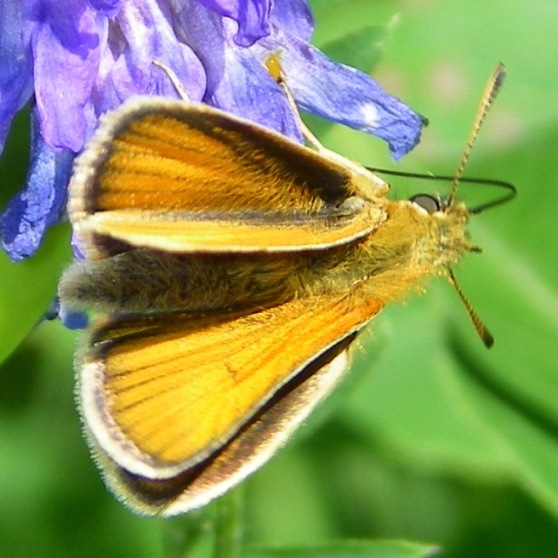 What kind of grass skipper? - Thymelicus lineola