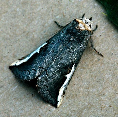 Orange-Humped Mapleworm female - Symmerista leucitys - female