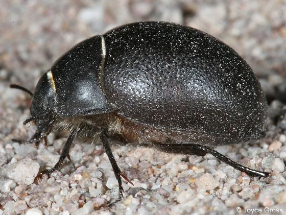 Teneb - Eusattus muricatus