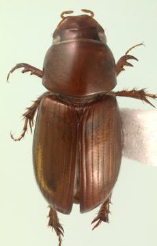 Blackburneus rubeolus (Palisot de Beauvois) - Aphodius rubeolus