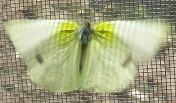 Lyside Sulphur - Kricogonia lyside - male
