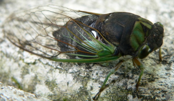 Swamp Cicada - Neotibicen tibicen - male