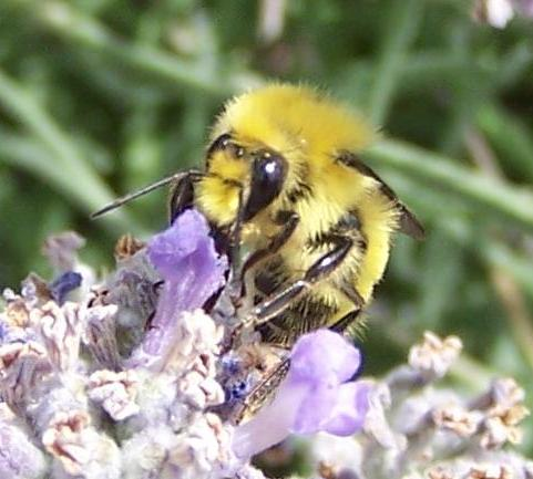 Yellow Bumble Bee - Bombus flavifrons - male