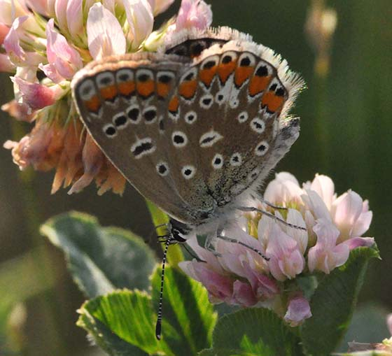 Grey blue butterfly - Polyommatus icarus - female