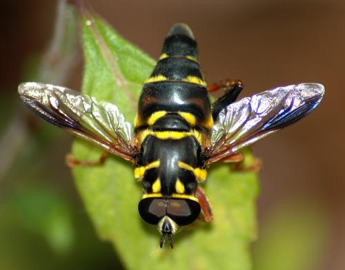 Meromacrus acutus - male