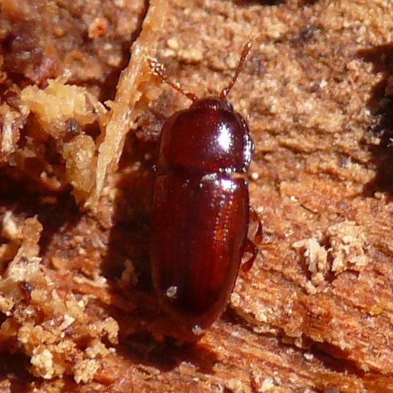 Minute bark beetle (Cerylonid) - Philothermus glabriculus