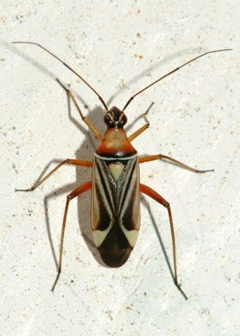 Bug on the beach - Closterocoris amoenus