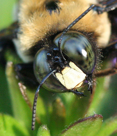 Eastern Carpenter Bee - Xylocopa virginica - male