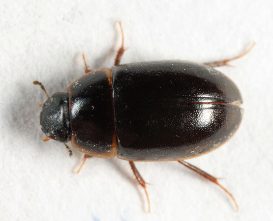 Water Scavenger Beetle - Enochrus