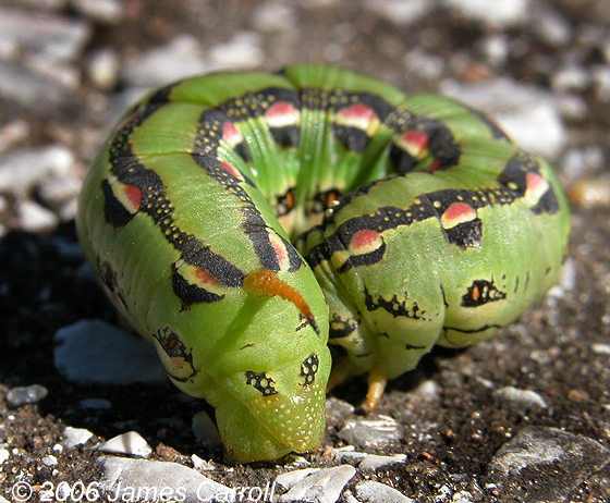 Hyles lineata caterpillar - Hyles lineataHyles Lineata Caterpillar