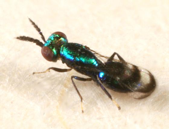 small green wasp - Closterocerus
