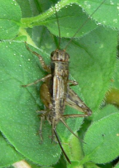 Striped Ground Cricket - Allonemobius fasciatus - female