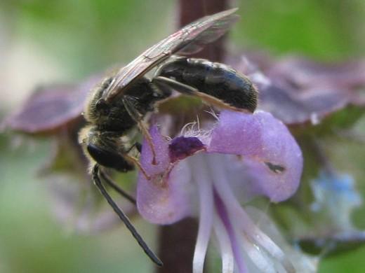 Ceratina? bee on Thai basil flower - Lasioglossum - male