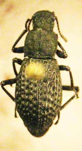 darkling beetle? - Polypleurus perforatus