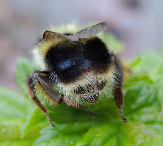 Bumble Bee/Gooseberry 4 - Bombus mixtus