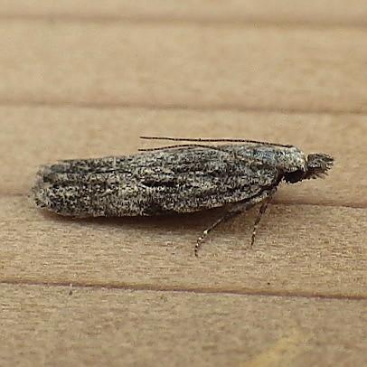 Gelechiidae: Anarsia lineatella - Anarsia lineatella