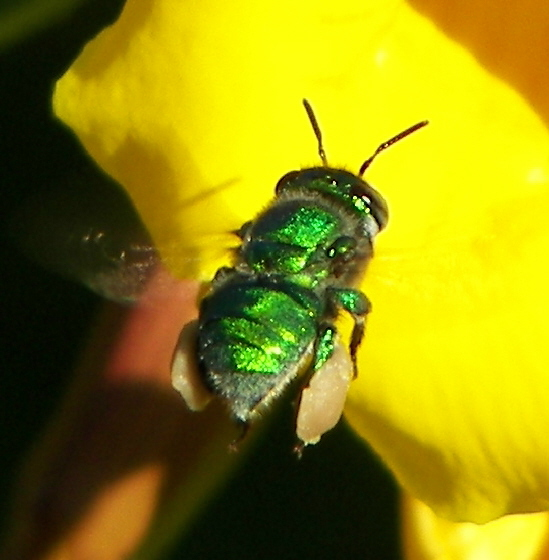 Green Bee - Euglossa dilemma - female