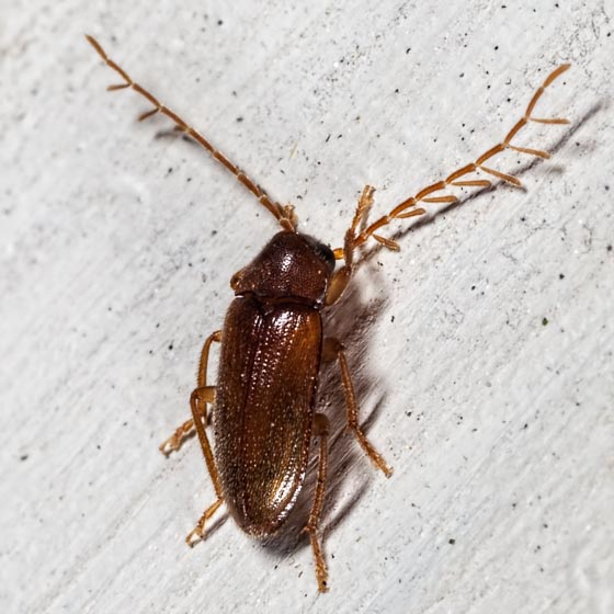 Beetle - Ptilodactyla