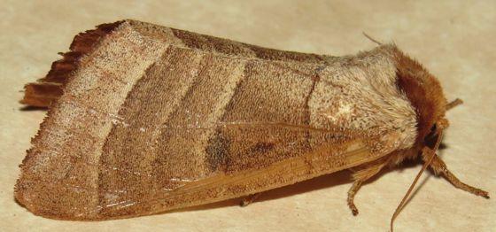 Spotted Datana - Hodges#7908 - Datana perspicua