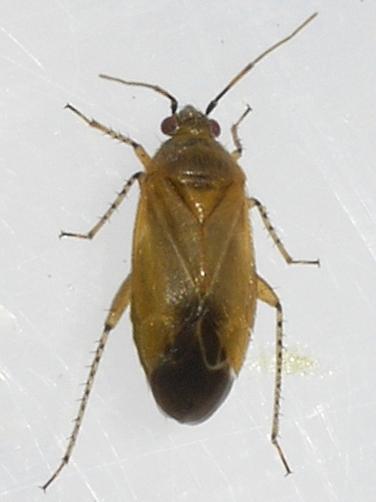 plant bug - Plagiognathus arbustorum