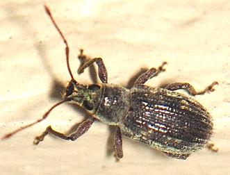 UID WEEVIL - Cyrtepistomus castaneus