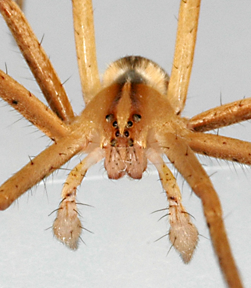 Spider - Pisaurina dubia - male