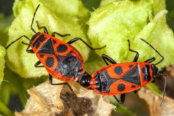 Pyrrhocoris apterus - male - female