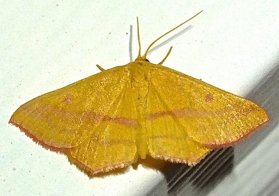 Chickweed Gometer - Haematopis grataria - female