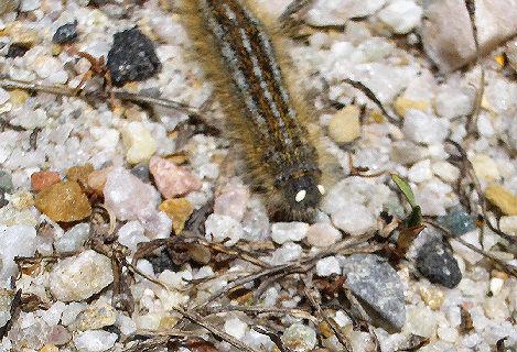 Tent Caterpillars? - Malacosoma californicum