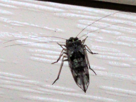 Green-trimmed insect - Metylophorus novaescotiae