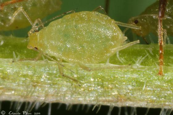 Myzus lythri