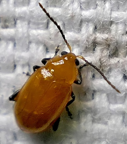 leaf beetle - Parchicola tibialis