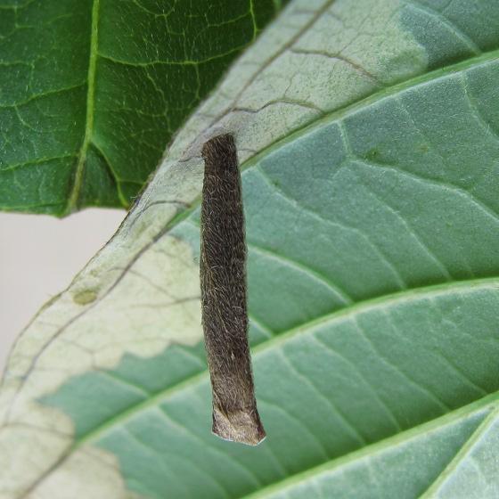 Casebearer on Dogwood - Coleophora cornella