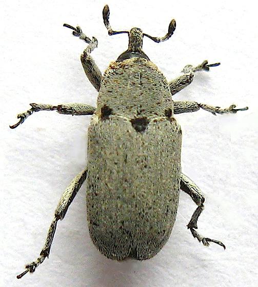 Jimson Weed Weevil - Trichobaris compacta