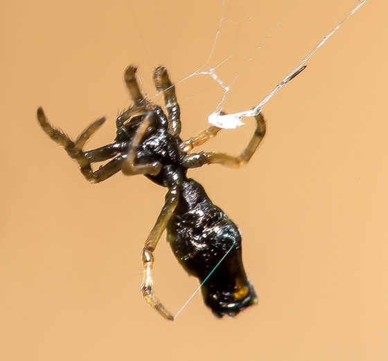 Very small abnormally shaped spider - Micrathena - female