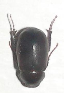 Small Dark Maroon Beetle