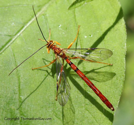 Wasp - Megarhyssa greenei - male