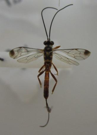 Small Ichneumon or braconid? - female