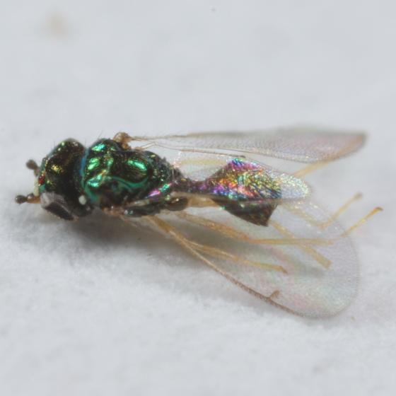 Agromyzid parasitoid - Chrysocharis - male