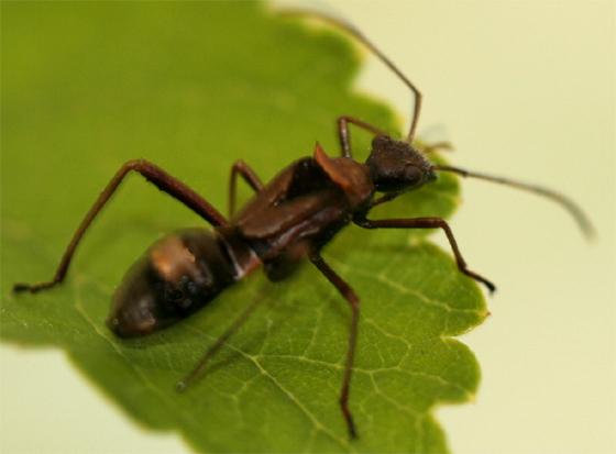 Texas bow-legged bug nymph  - Hyalymenus tarsatus