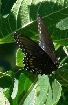 Red-spotted Purple BF - Limenitis arthemis
