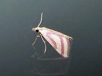 Small Pink and White moth - Microtheoris vibicalis