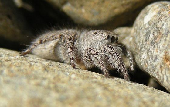 Jumping Spider gray 5 - Habronattus hirsutus - female