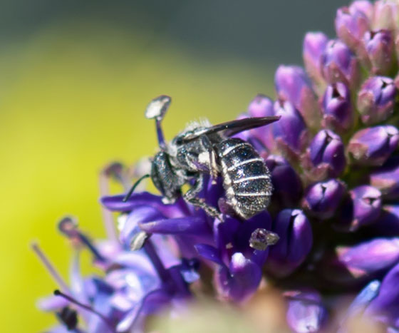 Tiny Gray Bee - Heriades
