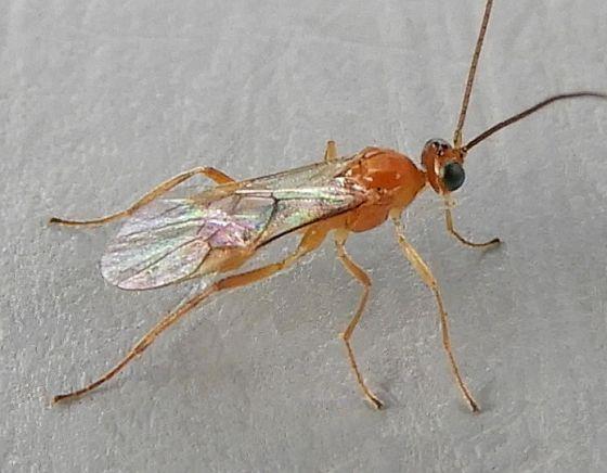Pennsylvania Wasp for ID - Meteorus