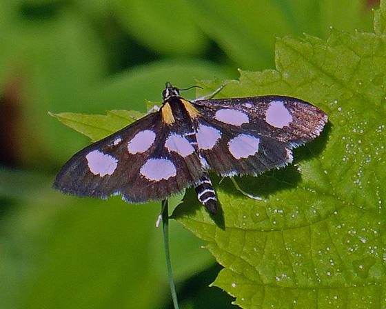 Unidentified Moth.... - Anania funebris