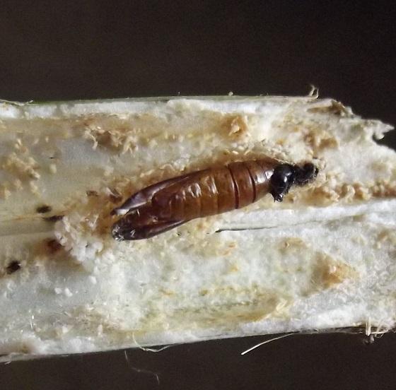Cow parsnip stalk borer - Depressaria radiella