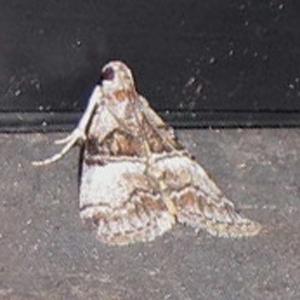 Moth - Pococera asperatella