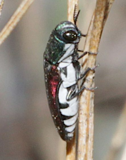 Unknown insect - Agrilus pulchellus